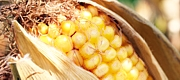 Corn is a common raw material for ethanol production